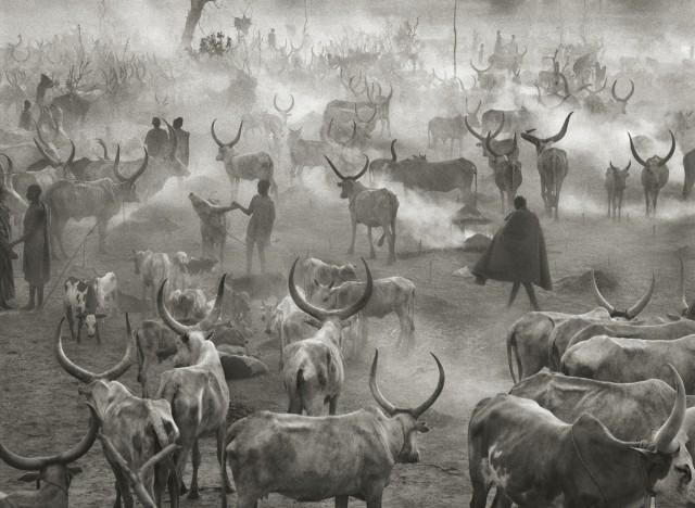 Стадо крупного рогатого скота народа динка в Южном Судане, 2006. Автор Себастьян Сальгадо