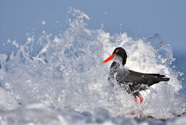 Категория «Поведение птиц», 2020. Фотограф Витторио Риччи