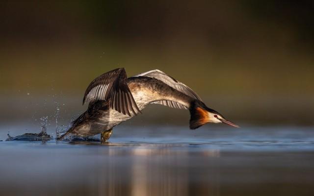 Категория «Поведение птиц», 2020. Фотограф Джорджина Стейтлер