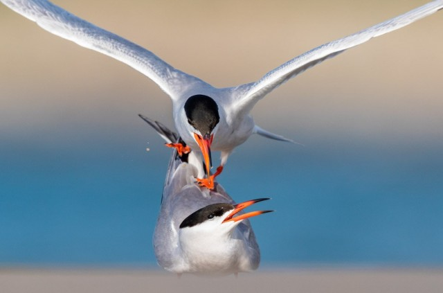 Категория «Поведение птиц», 2020. Фотограф Мэтью Филоса