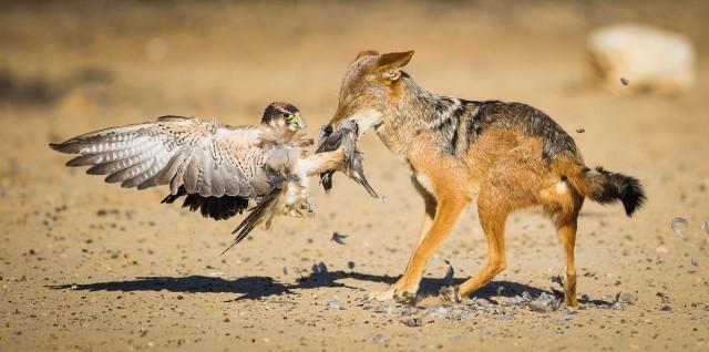 Категория «Поведение птиц», 2020. «Борьба за пищу». Кгалагади, Ботсвана. Фотограф Риан ван Шалквик