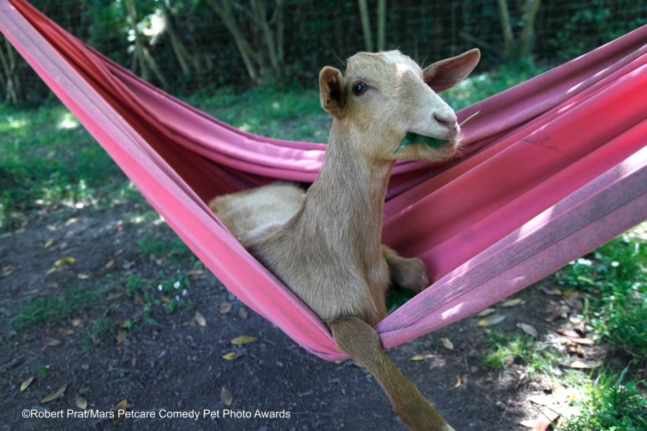 «Коза в гамаке». Фотограф Роберт Прат