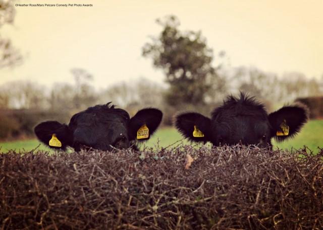 «Скрытные коровы». Фотограф Хизер Росс