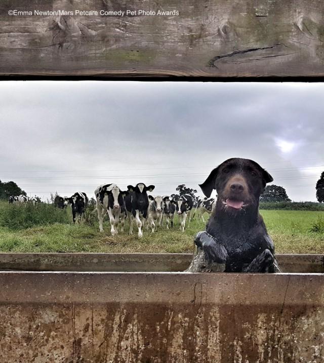 Собака в коровьей поилке. Фотограф Эмма Ньютон