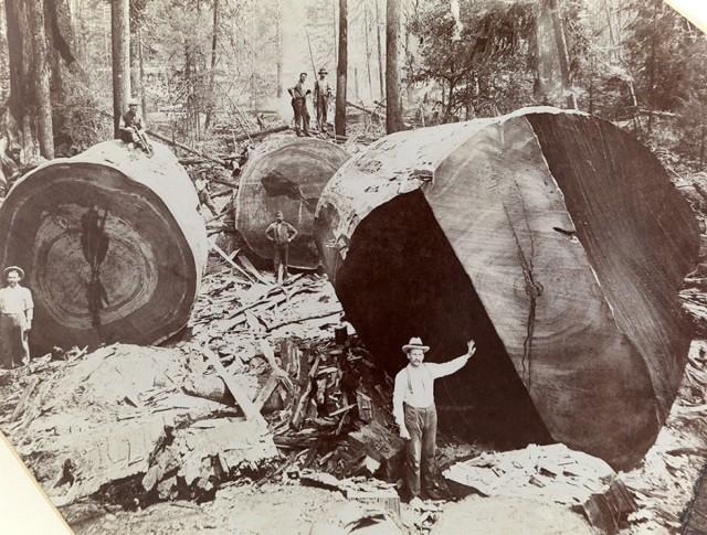 Срубленный гигантский секвойядендрон, Калифорния, США, 1909