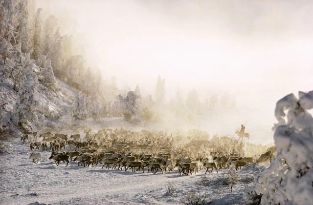 Стадо северных оленей в Сибири, 1977. Фотограф Дин Конгер