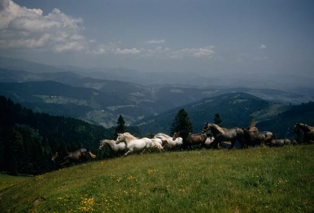 Липицианские лошади разгуливают по альпийскому лугу над Пибером, Австрия. Фотограф Фолькмар К. Вентцель