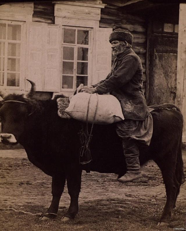 Перевозка клади на быке. Русские, Якутия (Саха), Олёкминск, вторая половина XIX в.