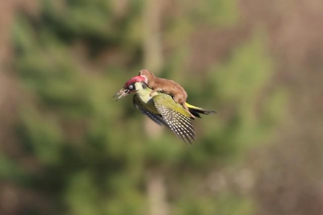 Ласка летит верхом на дятле. Фотограф Мартин ЛеМэй