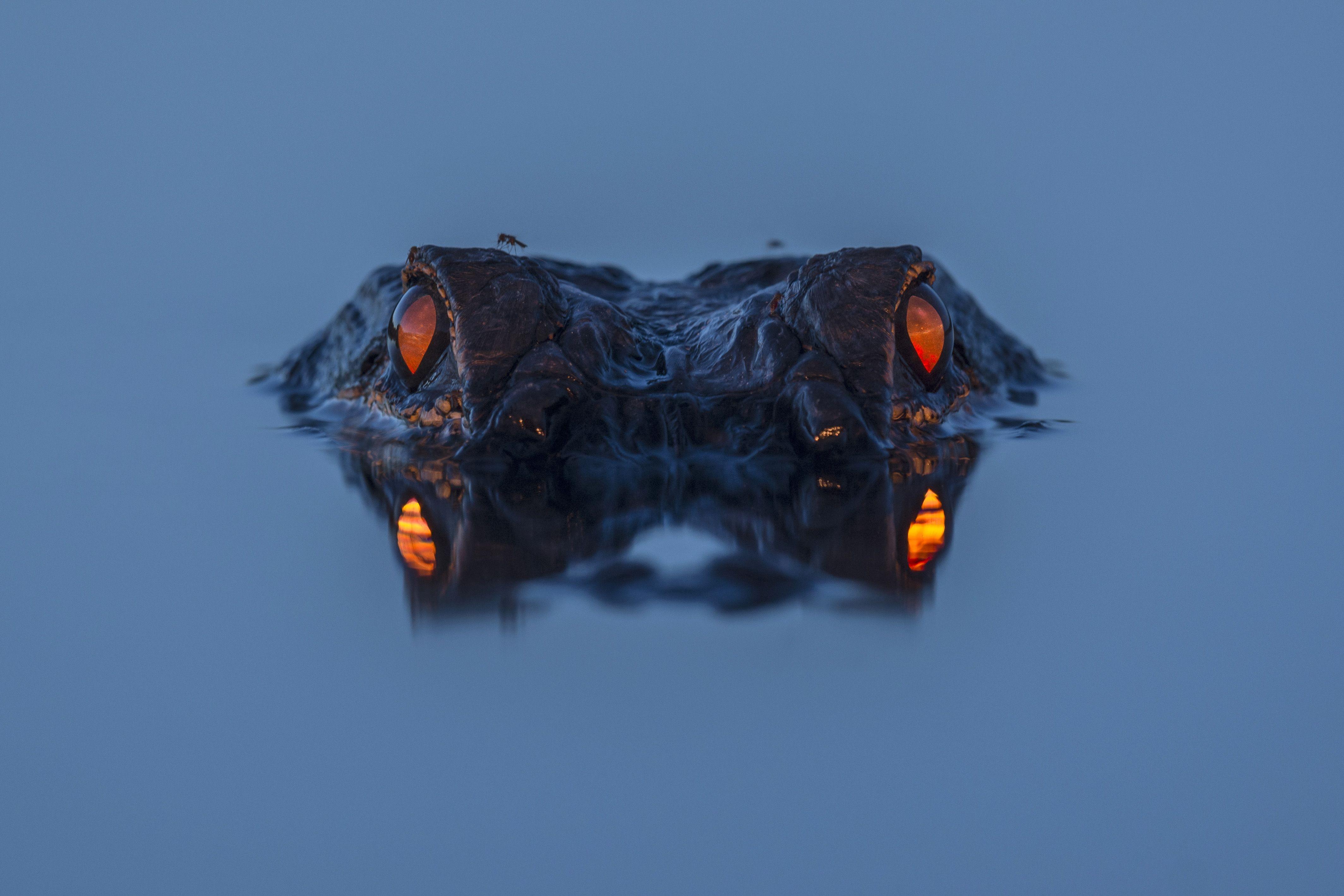 Глаза аллигатора в темноте