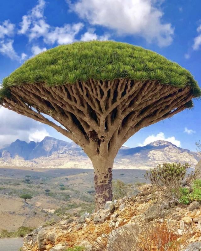 Дерево крови дракона, остров Сокотра
