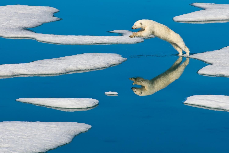 Белый медведь прыгает с одного куска пакового льда на другой на Шпицбергене, Норвегия, 2006. Фотограф Ральф Ли Хопкинс