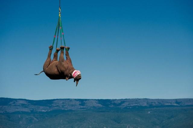 Транспортировка носорога, спасённого от браконьеров в Африке