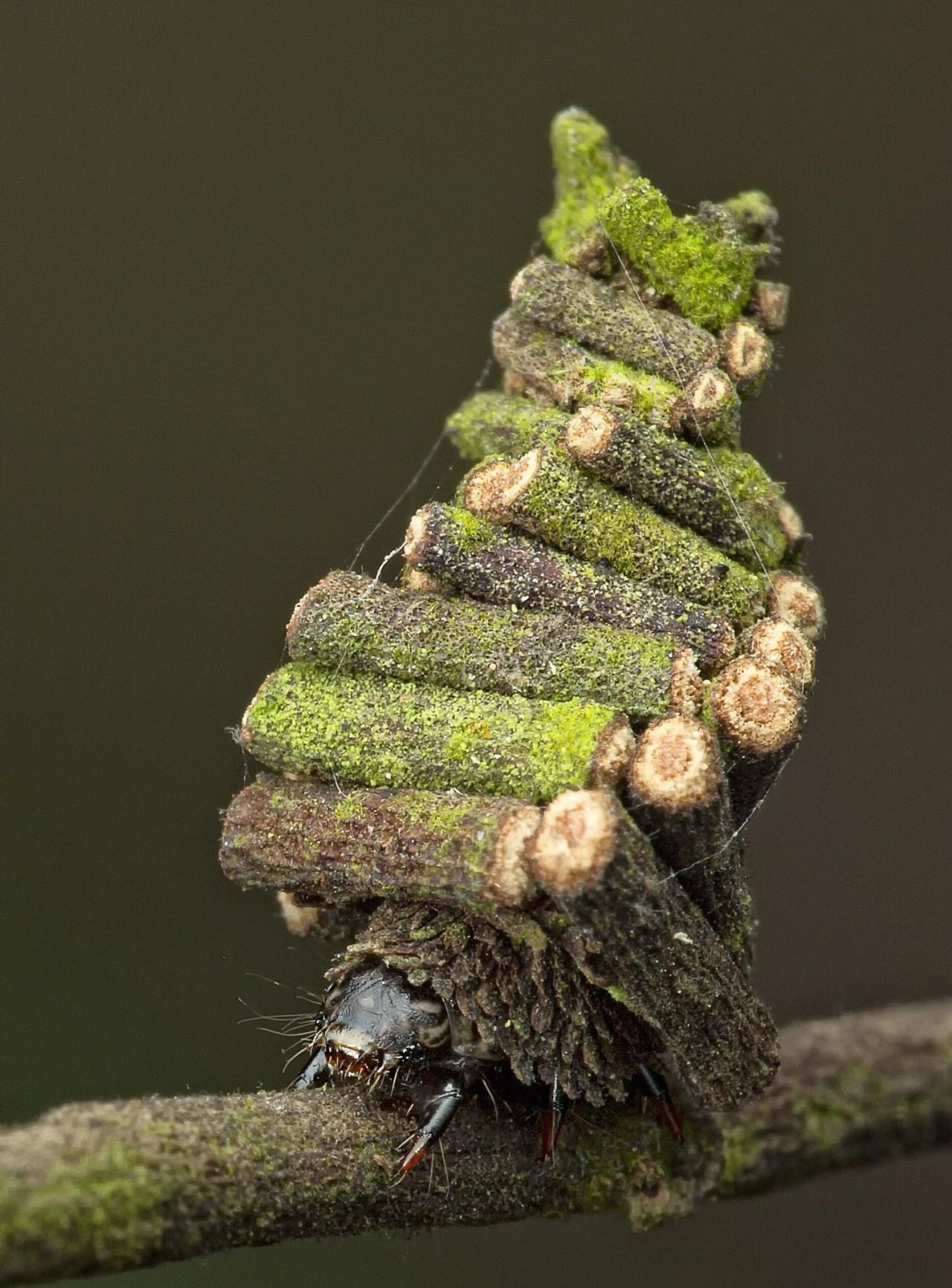 Гусеница мешочница и её домик. Фотографы Мелвин Йео, Ник Бэй