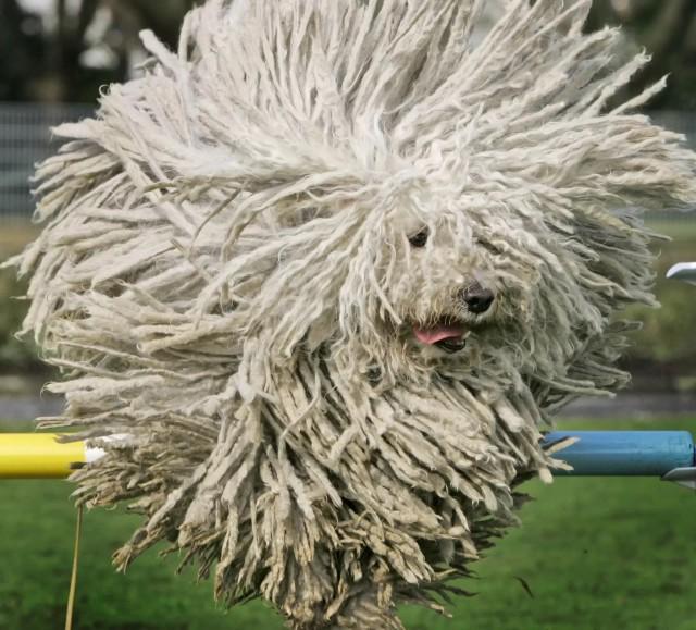 Не швабра, а комондорская собака в прыжке