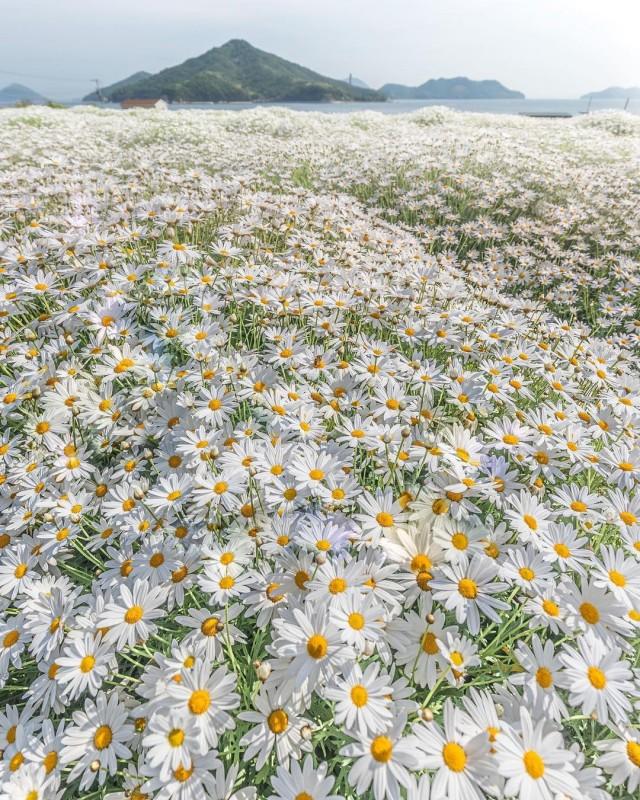 «Ромашковое море». Цветочный парк в префектуре Кагава, Япония. Фотограф Makoto (zeal_88)