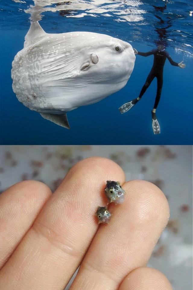 Взрослая луна-рыба в сравнении с её мальками. Верхнее фото снято в Сан-Диего, Калифорния. Автор Даниэль Ботельо