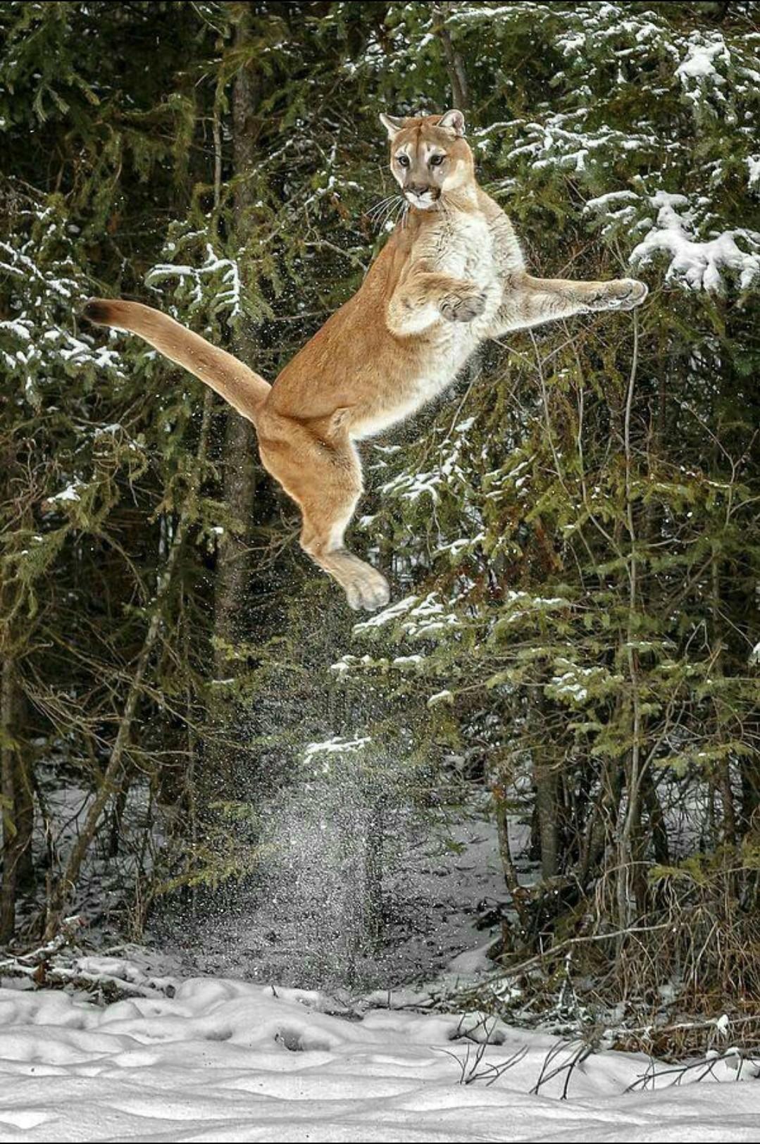 Пума в прыжке. Горный лев (кугуар) способен запрыгнуть на 4,5 м