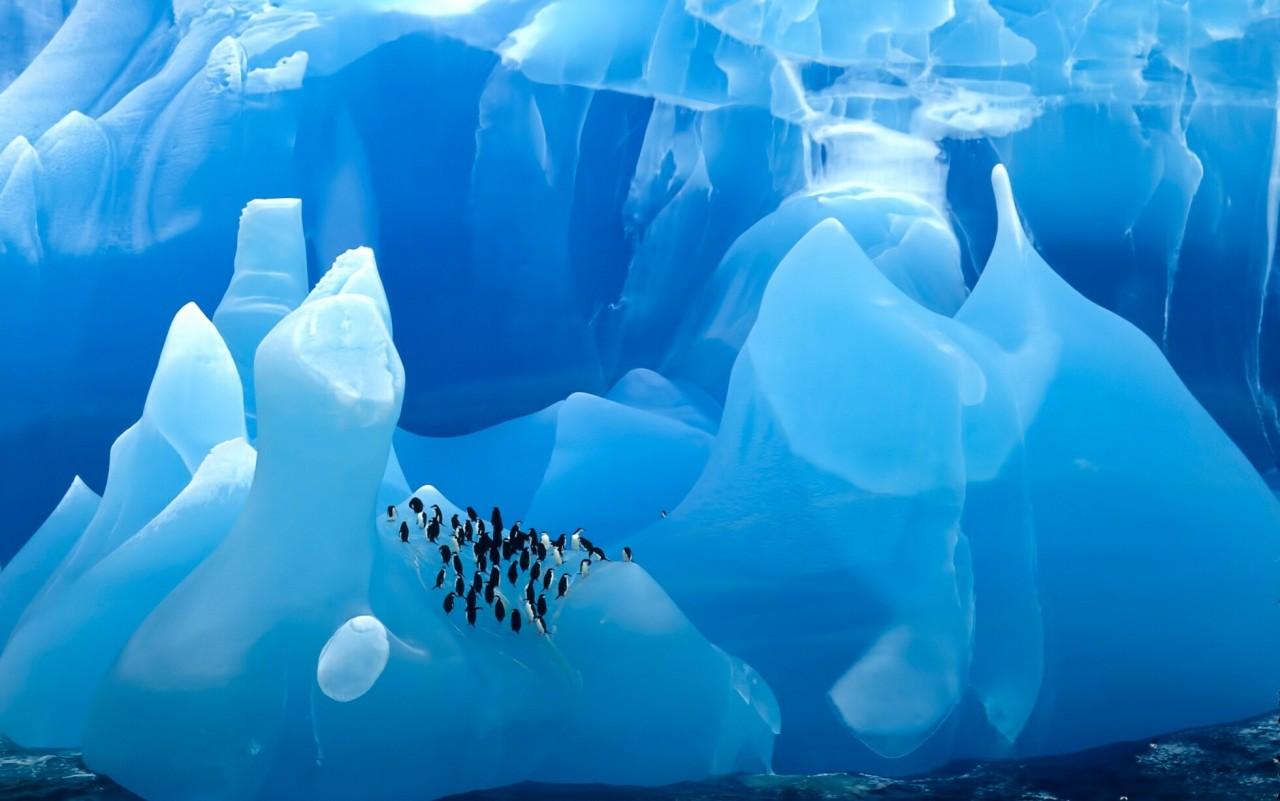 Антарктические пингвины на редком голубом айсберге. Фотограф Марк Джей Томас