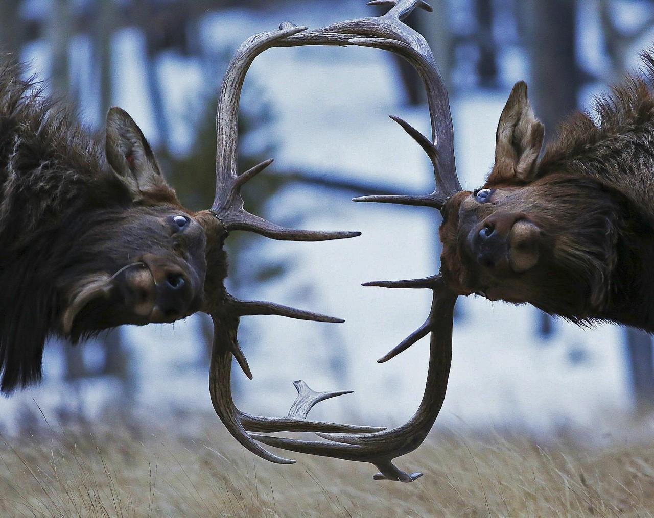 Зимний спарринг оленей в Скалистых горах. Фотограф Зак Роквам