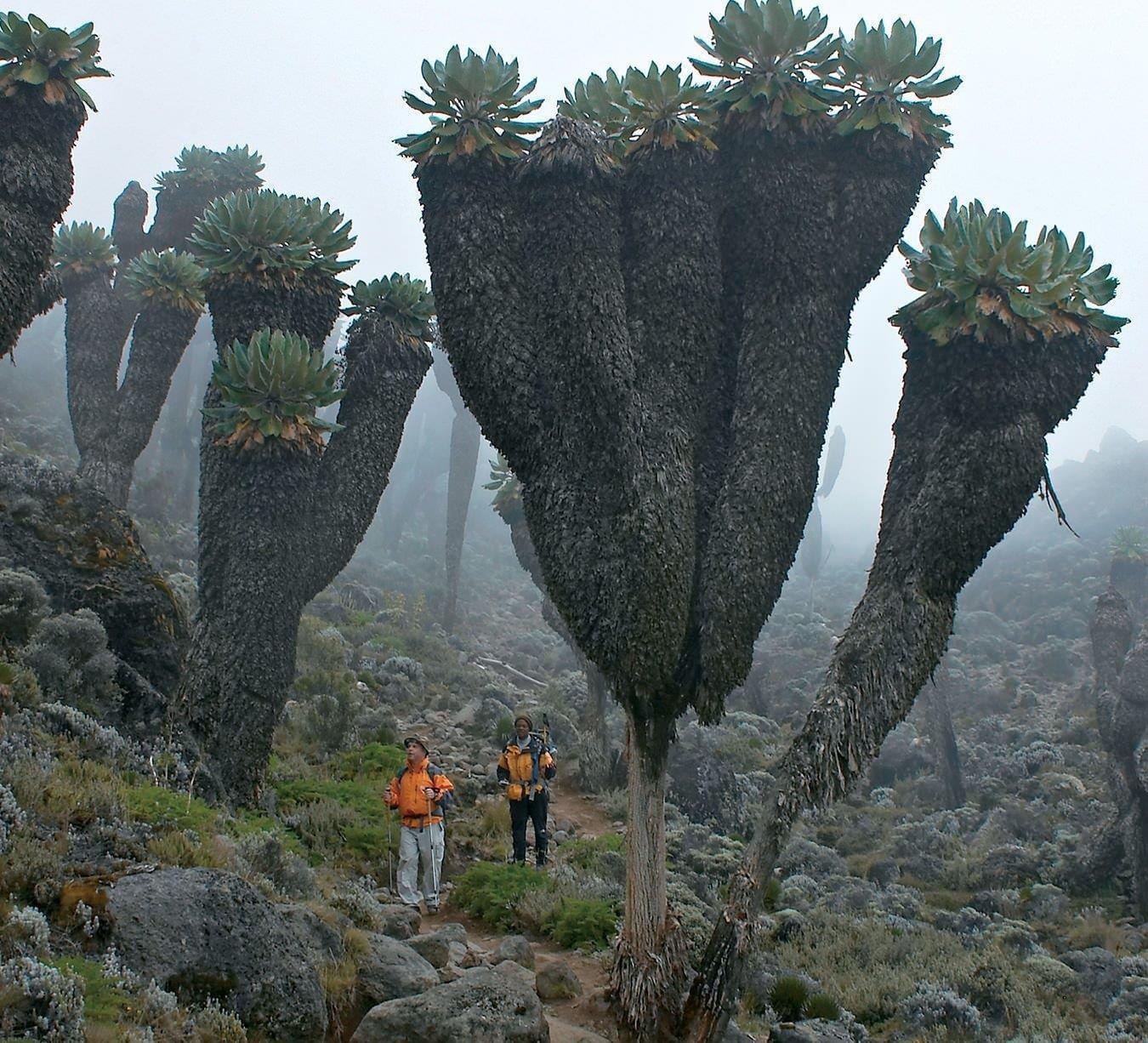 Гигантские крестовники, доисторические растения, обнаруженные на горе Килиманджаро