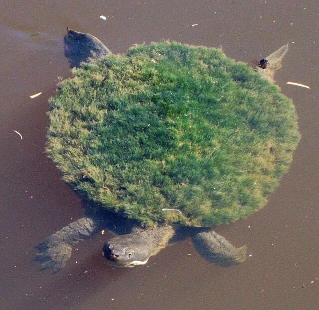 «Маленький Великий А'Туин». Черепаха реки Мэри с водорослями на панцире
