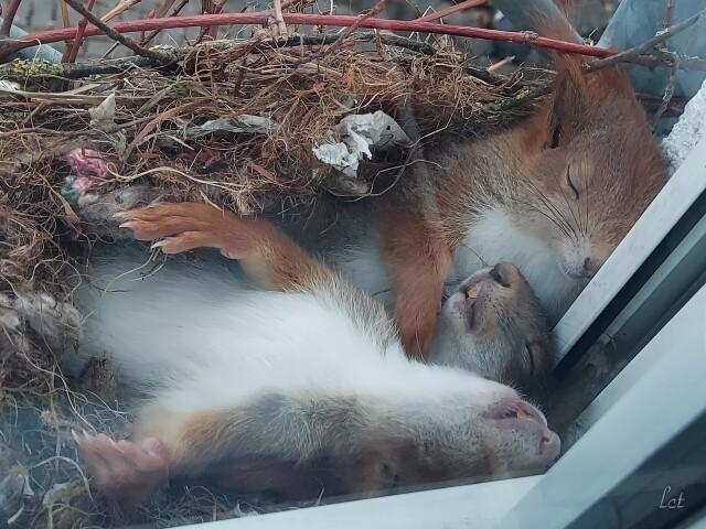 Белки спят в гнезде на подоконнике. Фотограф Людвиг Тимм