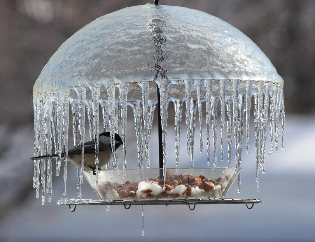 Синица под «ледяным зонтом»