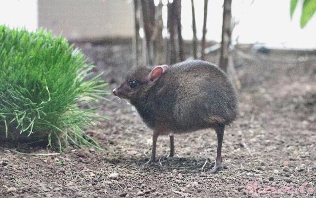 Малый оленёк (или канчиль, или мышиный олень). Млекопитающее из семейства оленьковые, самое маленькое парнокопытное на планете. Обитает в Юго-Восточно