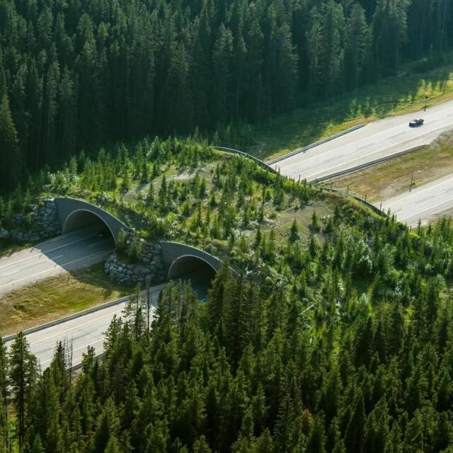 Экодук в канадском национальном парке Банф сократил количество столкновений с животными на 80%