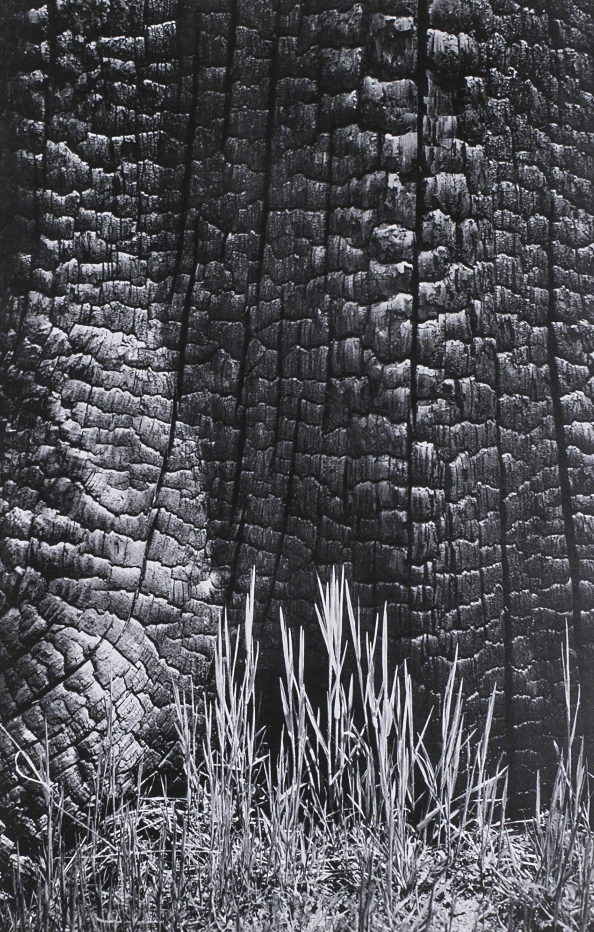 Трава и обгоревший пень, долина Йосемити, 1939. Фотограф Энсел Адамс