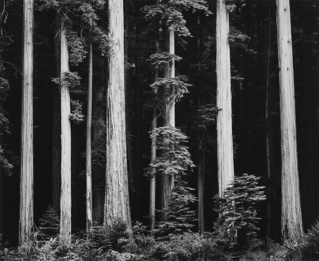 Красные леса северного побережья Калифорнии, 1960. Фотограф Энсел Адамс