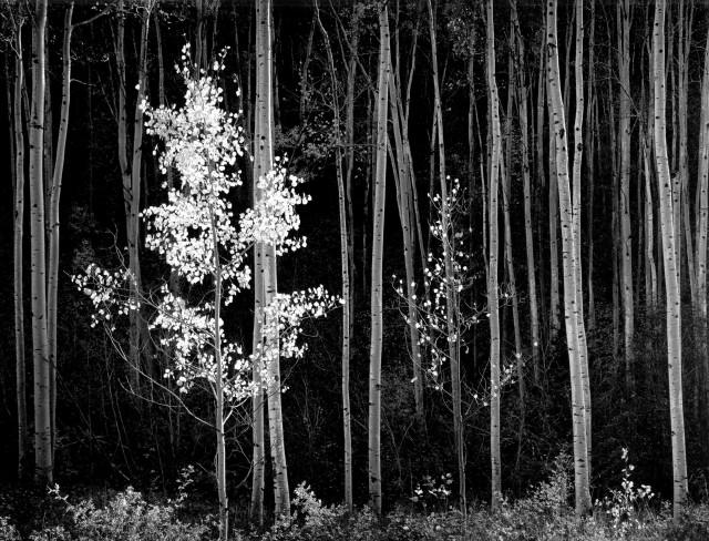 Осины, 1948. Фотограф Энсел Адамс