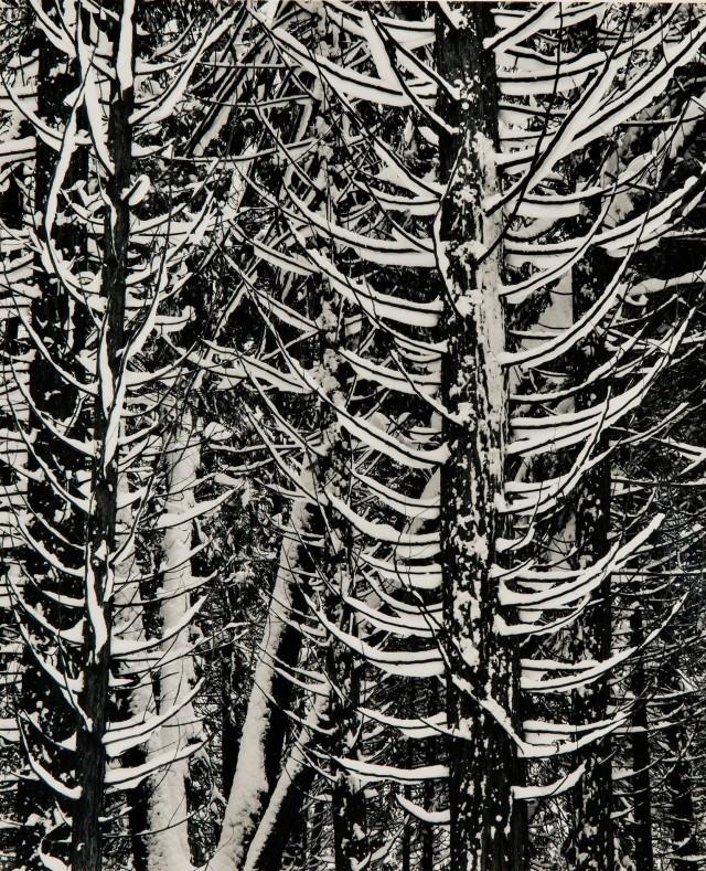 Деталь леса, зима, 1949. Фотограф Энсел Адамс