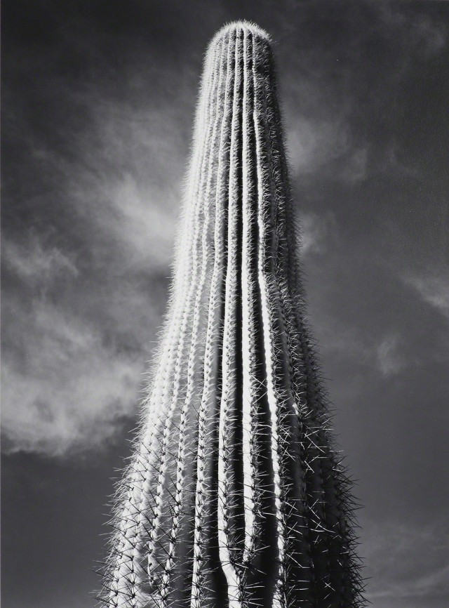 Кактус Сагуаро, Восход солнца, Аризона, 1942. Фотограф Энсел Адамс