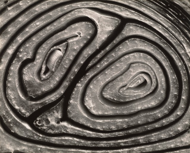 Разрезанный лук, 1930. Фотограф Эдвард Уэстон