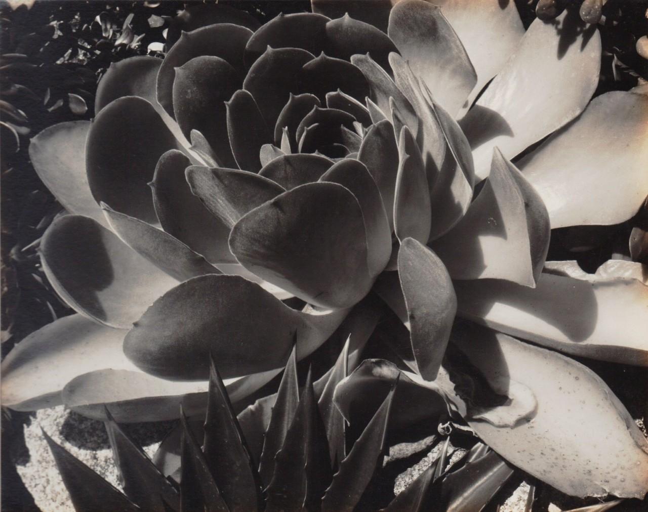 Суккуленты, 1930. Фотограф Эдвард Уэстон