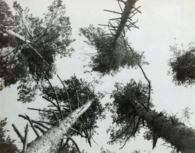 Сосны в Пушкино, 1927. Фотограф Александр Родченко