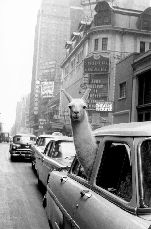Лама на Таймс-сквер, Нью-Йорк, 1957. Фотограф Инге Морат