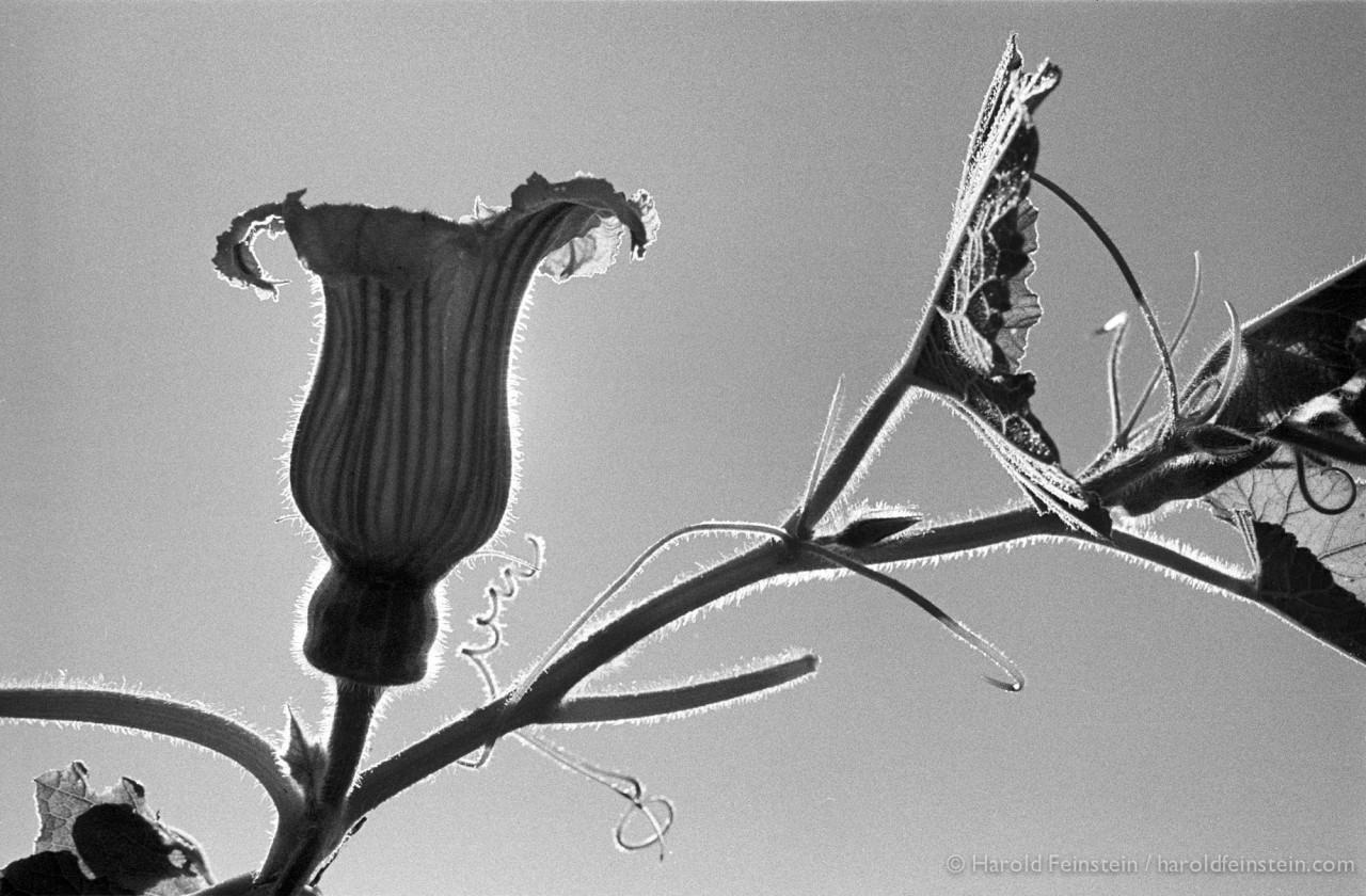 Цветение тыквы, 1976. Фотограф Гарольд Файнштейн