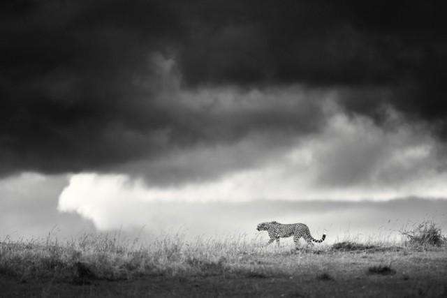 1-е место в категории «Дикая природа» среди любителей, 2020. Гроза надвигается в Масаи-Мара. Автор Мохаммад Мирза