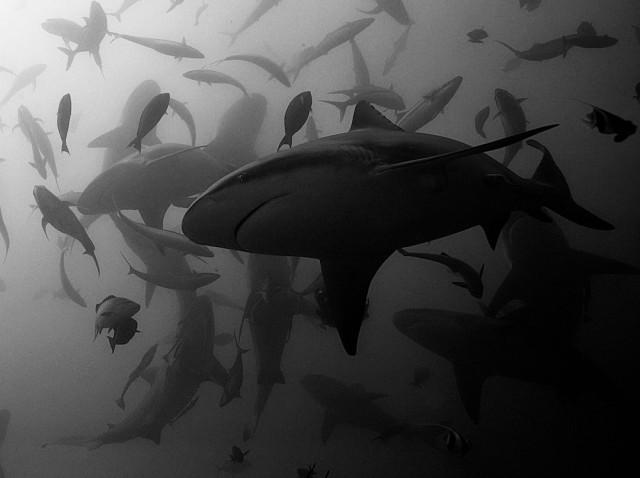 1-е место в категории «Дикая природа» среди профессионалов, 2019. «Танец бычьих акул». Автор Серж Мелесан
