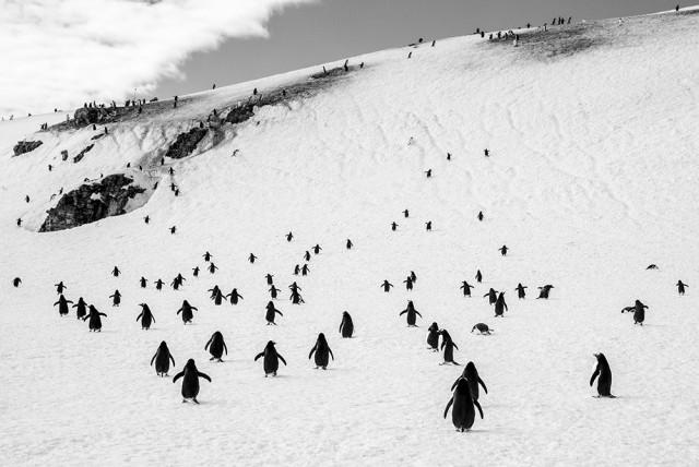 3-е место в категории «Дикая природа» среди профессионалов, 2019. «Гуляющие пингвины». Автор Александр Миклебуст