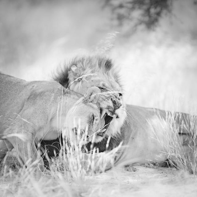 Почётное упоминание в категории «Дикая природа» среди профессионалов, 2019. «Любовь львов Калахари». Автор Деннис Верманн