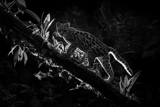 1-е место в категории «Дикая природа» среди профессионалов, Monochrome Awards 2018. «Кошачья тень». Фотограф Диллон Андерсон