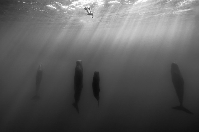 2-е место в категории «Природа» среди профессионалов, Monochrome Awards 2018. «Океанские столпы». Дайвер смотрит на спящих кашалотов в тёплых водах Доминики. Фотограф Ромейн Баратс