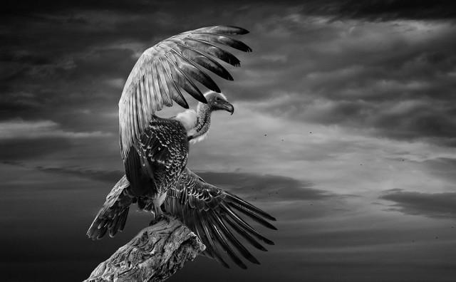 2-ое место в категории «Дикая природа» среди любителей, Monochrome Awards 2018.  «Белоголовый гриф расправляет крылья». Фотограф Стефан Гриксти