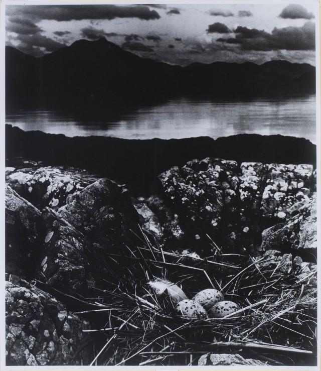 Гнездо чайки в летнюю ночь, остров Скай, 1947. Фотограф Билл Брандт