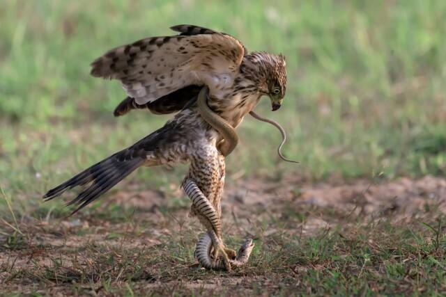 «Посох Асклепия». Птица и змея. Фотограф Whang Cheng