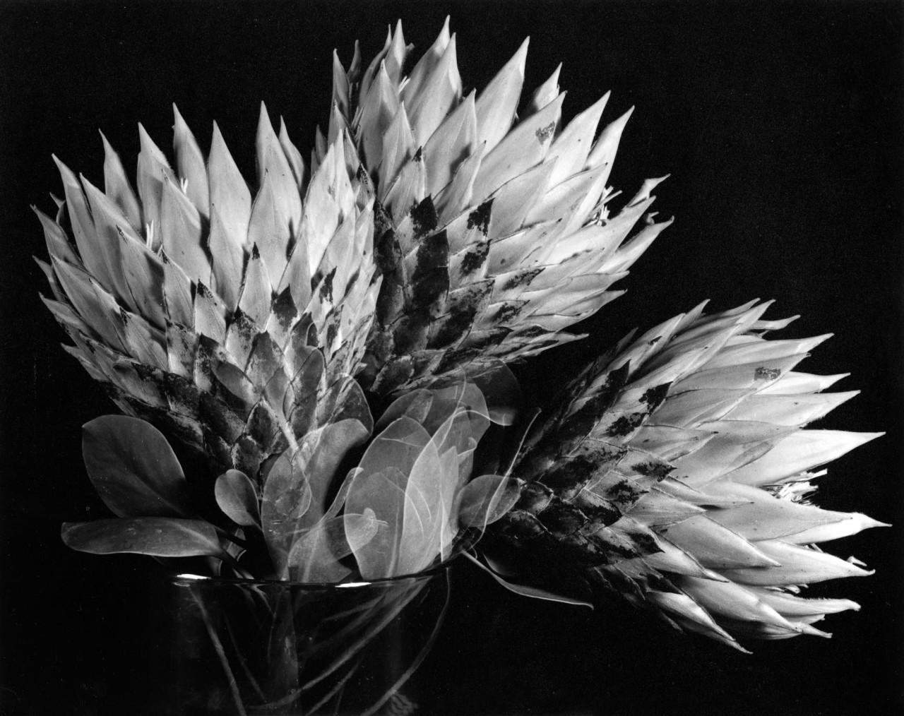 Три протеи, 1935. Фотограф Имоджен Каннингем